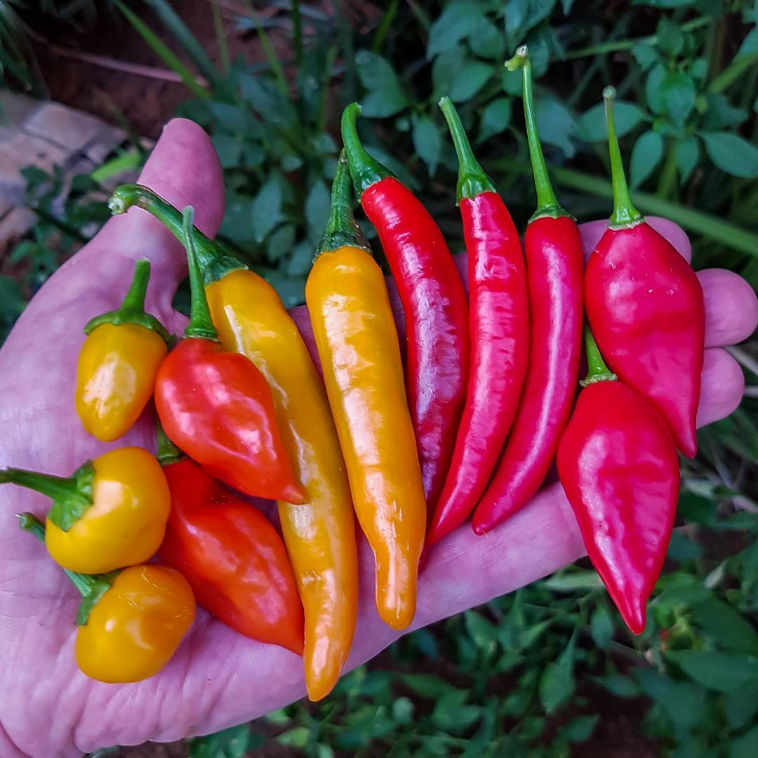 Chili peppers 2017 autumn collection homegrown backyard chilipepper